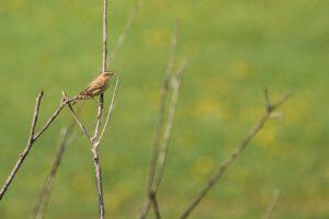 Sedge Warbler Bird Avian Animal - Psubraty / Pixabay